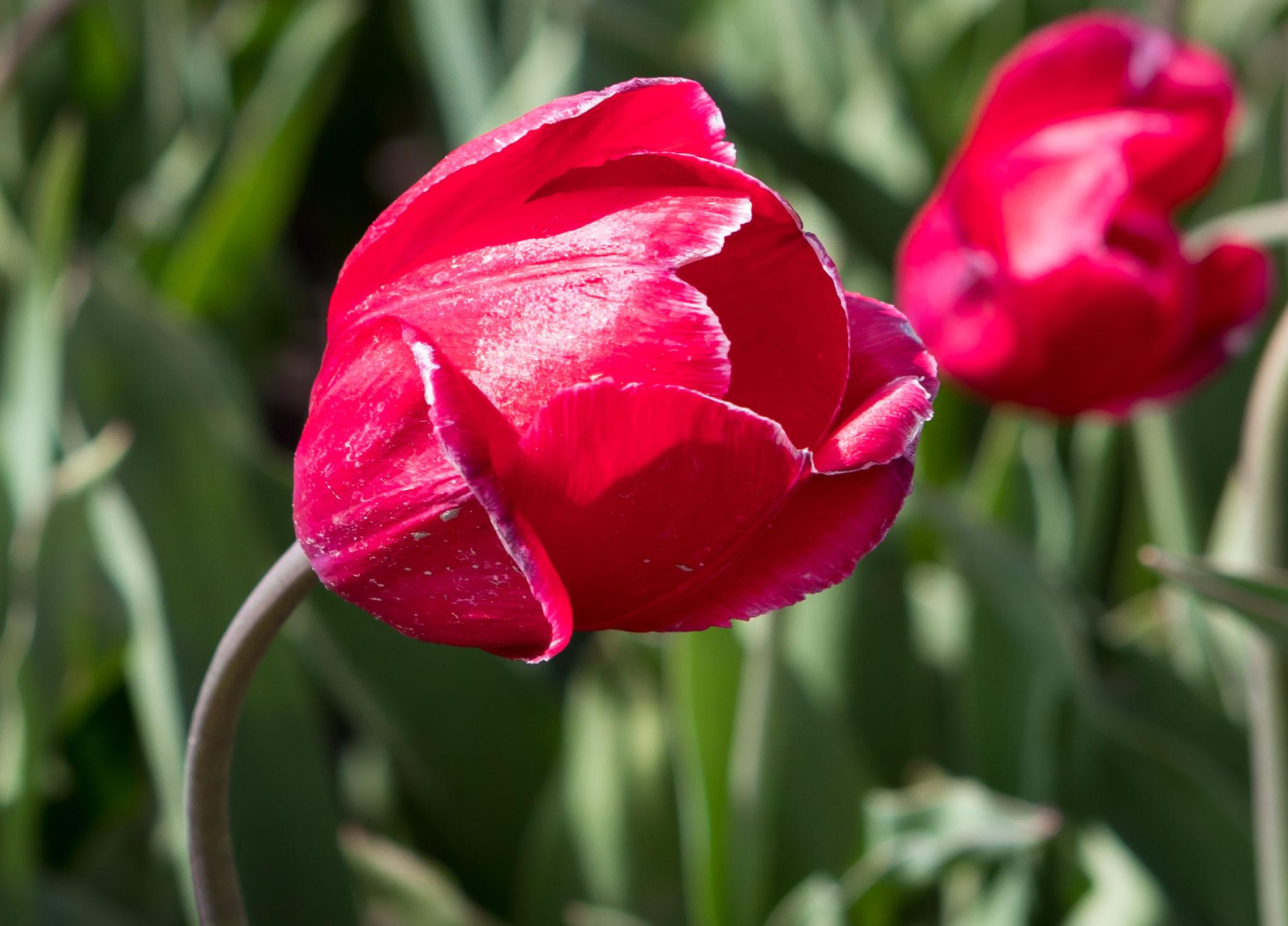 Tulpen in Blühte